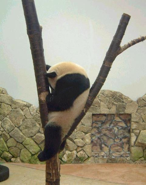 panda tree one