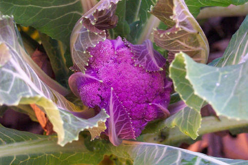 Purple Cauliflower3